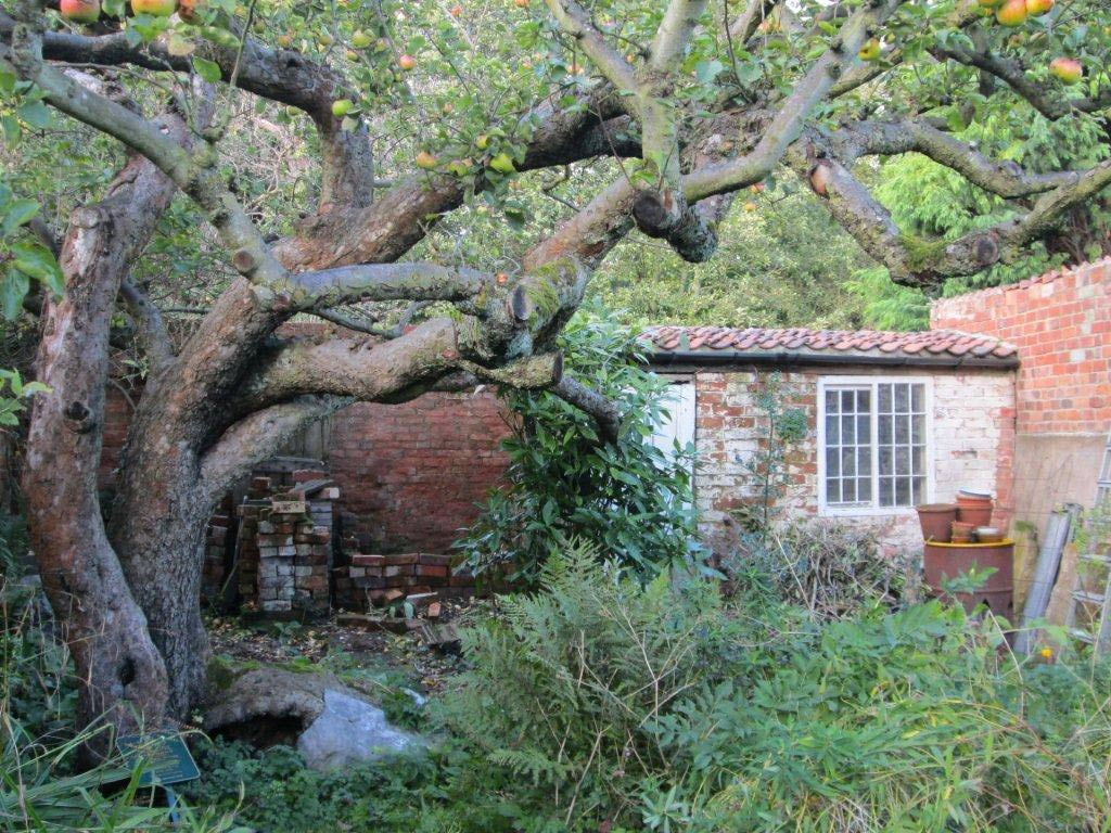 The Original Bramley Tree