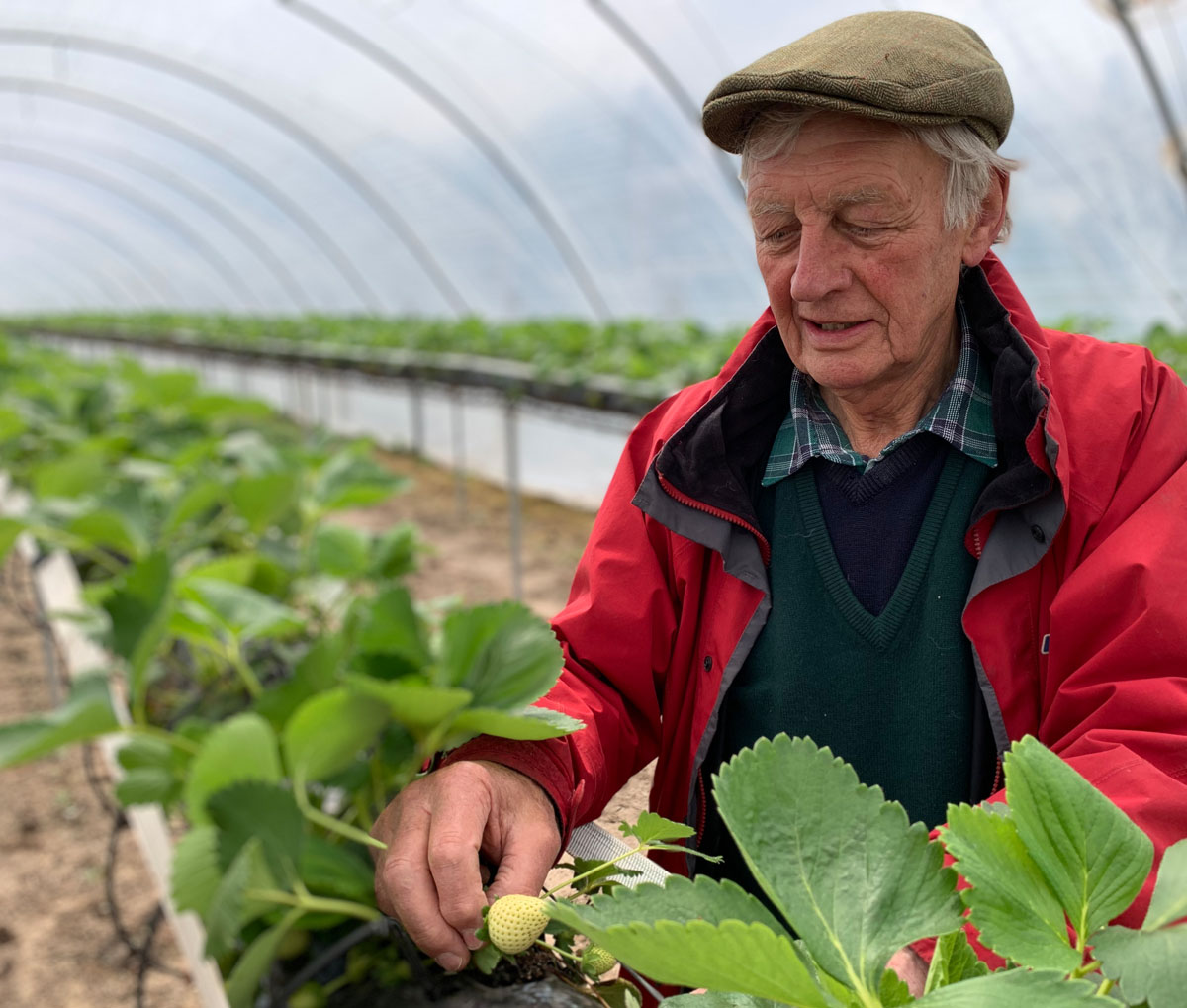 John Starkey picking strawberries